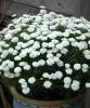 Argyranthem Supreme White